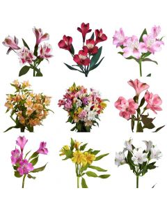Assorted Color Alstroemeria