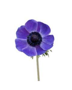 Purple Anemone