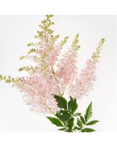 Light Pink Astilbe