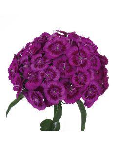 Purple Breanthus