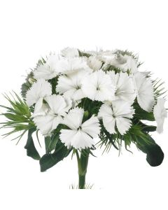 White Breanthus