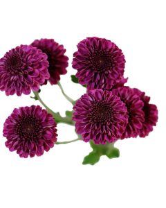 Lavender Button Pom