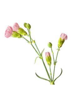 Light Pink Mini Carnations