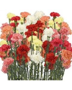 Assorted Color Carnations