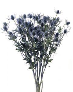 Blue Eryngium