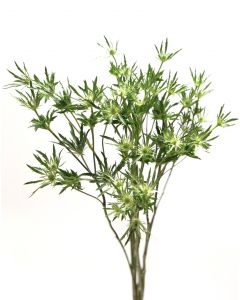 Green Eryngium
