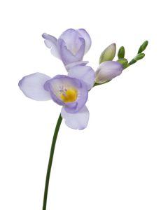 Lavender Freesia