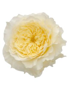 Cream David Austin Garden Rose
