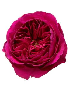 Hot Pink David Austin Garden Rose