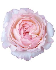 Light Pink David Austin Garden Rose