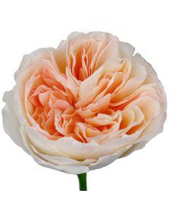 Peach David Austin Garden Rose