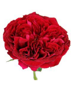 Red David Austin Garden Rose