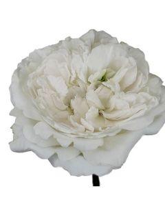 White David Austin Garden Rose