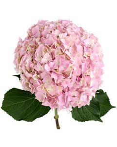 Jumbo Pink Hydrangea
