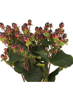 Burgundy Hypericum