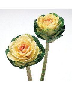 Yellow Kale