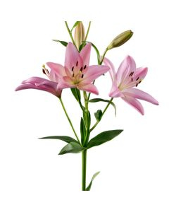 Hybrid Pink Lilies