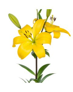 Hybrid Yellow Lilies