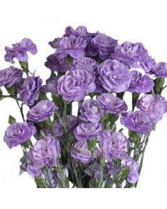 Lavender Mini Carnations