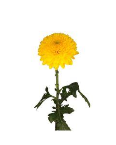 Yellow Disbud Mum