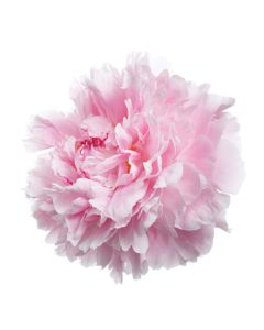 Light Pink Peonies