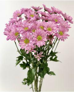 Lavender Daisy Pom