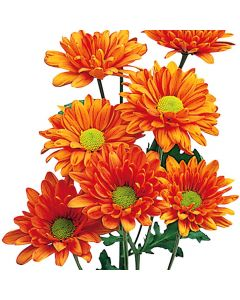 Orange Daisy Pom