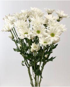 White Daisy Pom