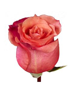 Coral Standard Nature's Cherry Rose