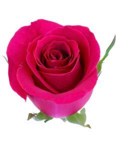 Hot Pink Long Stem Pizzaz Rose