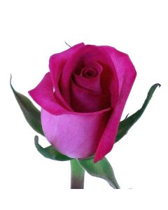 Hot Pink Long Stem Ravel Rose