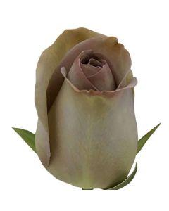 Lavender Long Stem Amnesia Rose