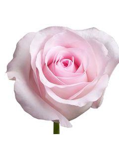 Light Pink Standard Sweet Akito Rose
