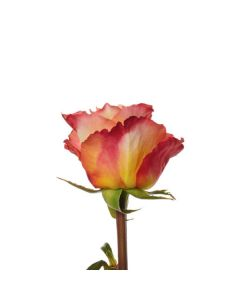 Orange Long Stem Free Spirit Rose