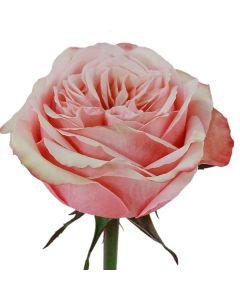 Peach Long Stem Kahala Rose