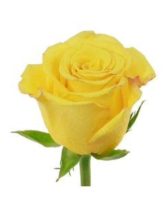 Yellow Long Stem Sonrisa Rose
