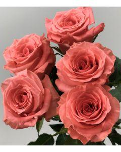 Coral Standard Amsterdam Rose