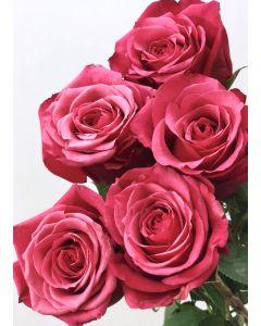 Hot Pink Long Stem Cherry O Rose