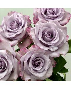 Lavender Long Stem Purple Haze Rose