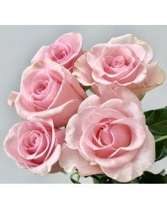 Light Pink Standard Titanic Rose