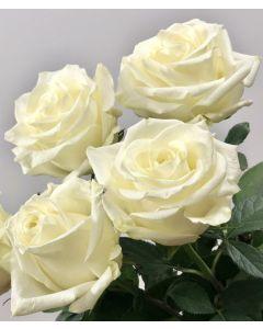 White Long Stem Polar Star Rose