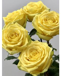Yellow Long Stem Stardust Rose