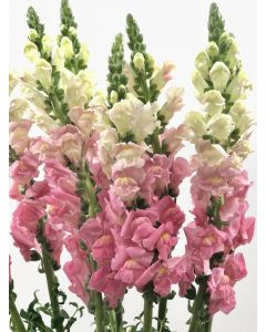Light Pink Snapdragons
