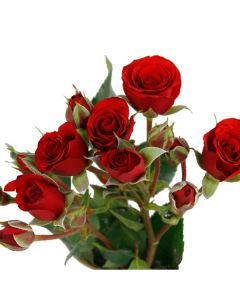 Burgundy Spray Rose