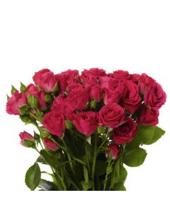 Hot Pink Spray Rose