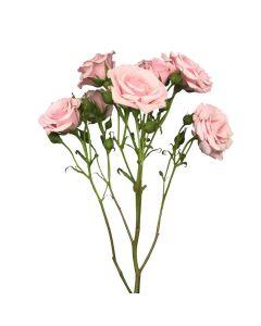 Pink Spray Rose