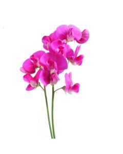 Dark Pink Sweet Pea