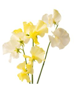 Yellow Sweet Pea