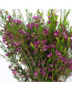 Purple Waxflower